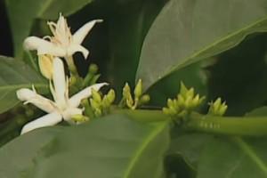 Man kan till och med odla kaffe hemma med rätt växtbelysning!